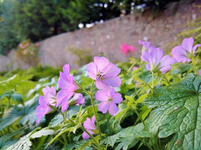 November_flowers_in_a_Scottish_garden