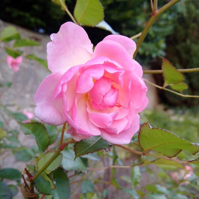 November_flowering_pink_rose