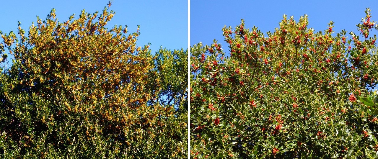 Laden_holly_trees