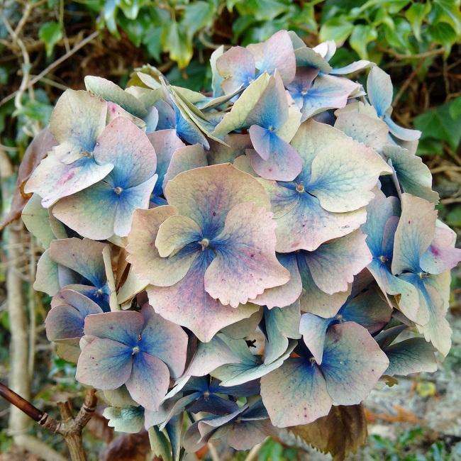 Faded_colour_of_a_blue_Hygrangea_flower