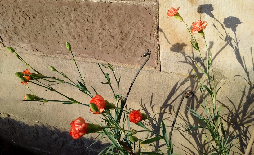 Orange-red_carnations_in_bloom_in_December
