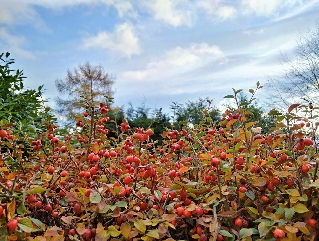 Cotoneaster_hedge_laden_with_red_berries