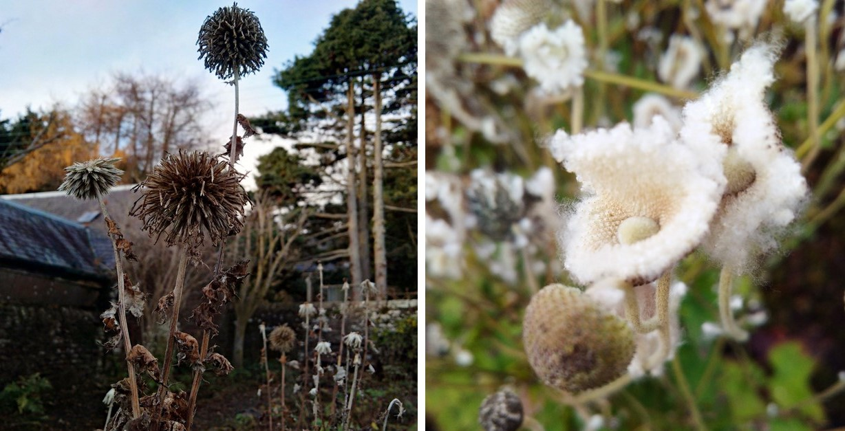 Seed-heads_of_Echinops_and_Japanese_Anemones