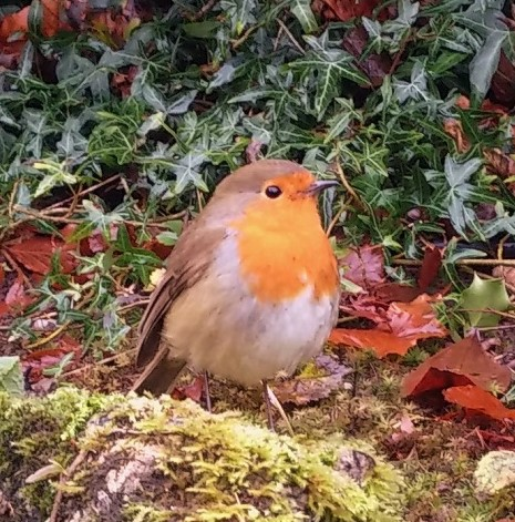 Scottish_garden_robin