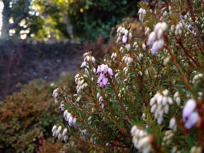 Winter_flowering_Scottish_heather