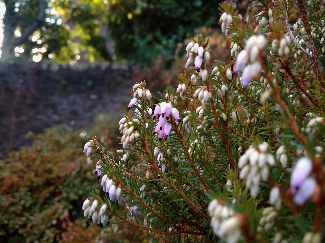 Winter_flowering_Scottish_heather