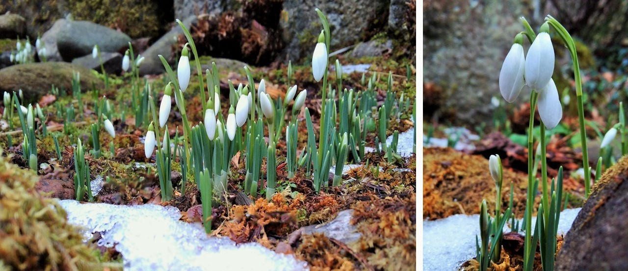 Early_Febraury_snowdrops_in_bud