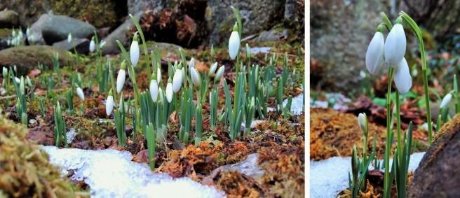 Early_Febraury_snowdrops_in_bud