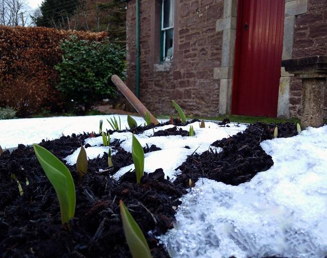 Old_wheelbarrow_planted_with_bulbs