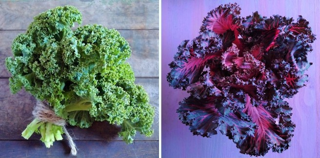 Bunches_of_green_and_red_curly_kale