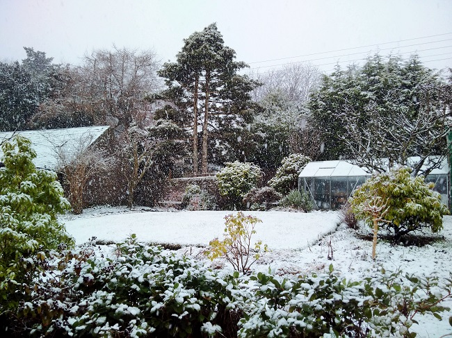 Falling_snow_in_a_Scottish_garden_at_the_end_of_ January