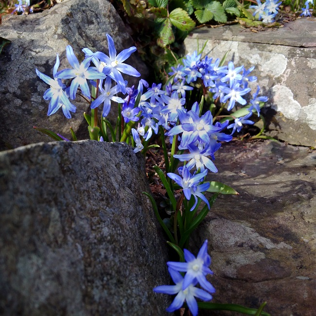 One_of_the_first_spring_flowers_'Chionadoxa