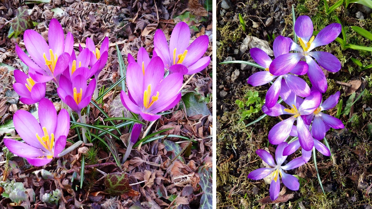 Deep_mauve_and_purple_crocus