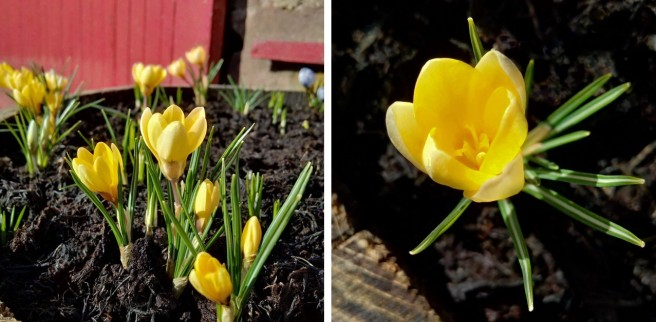 Golden_yellow_crocus