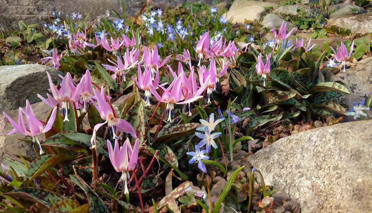 Dog-tooth_violets_growing_amonst_the_stones_on_a_rockery_alonside_Chionadoxa