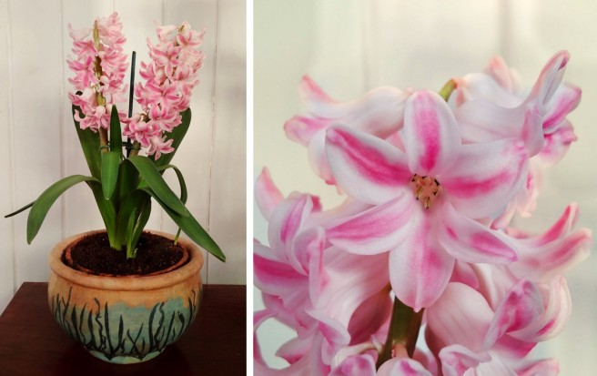 Double_pink_pot_Hyacinth_in_full_bloom