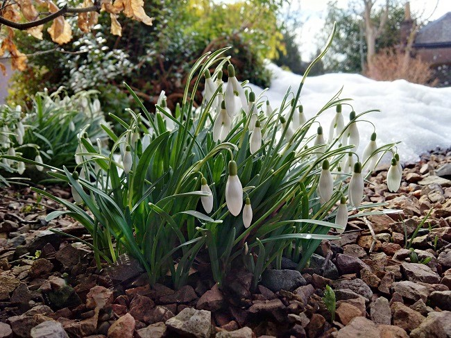 A_clump_of_snowdrops_sheltered_from_the_snow