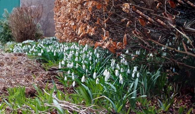 March_garden_Snowdrops_growing_under_a_beech_hedge