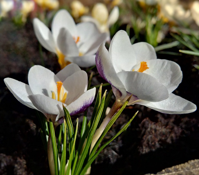 Close-up_of_white_crocus_with_Violet_splashed_petals