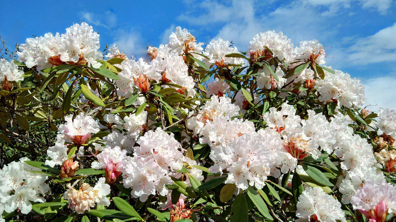 Pale_pink_rhododendron_in_full_bloom_under_a_blue_sky