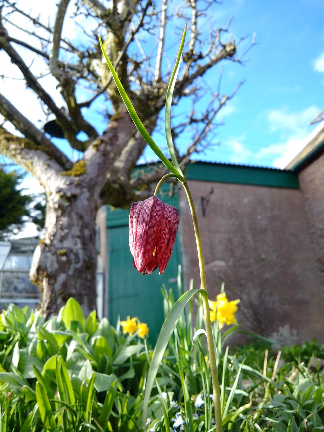 Solo_Snakeshead_Fritillary_in_spring_sunshine