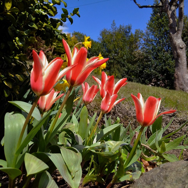 Red_and_white_striped_tulips_under_a_blue_sky