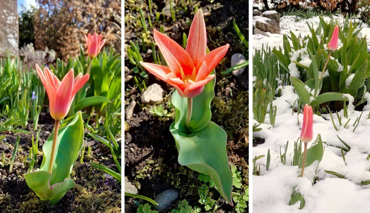 Before_and_after_Easter_early_dwarf_tulips