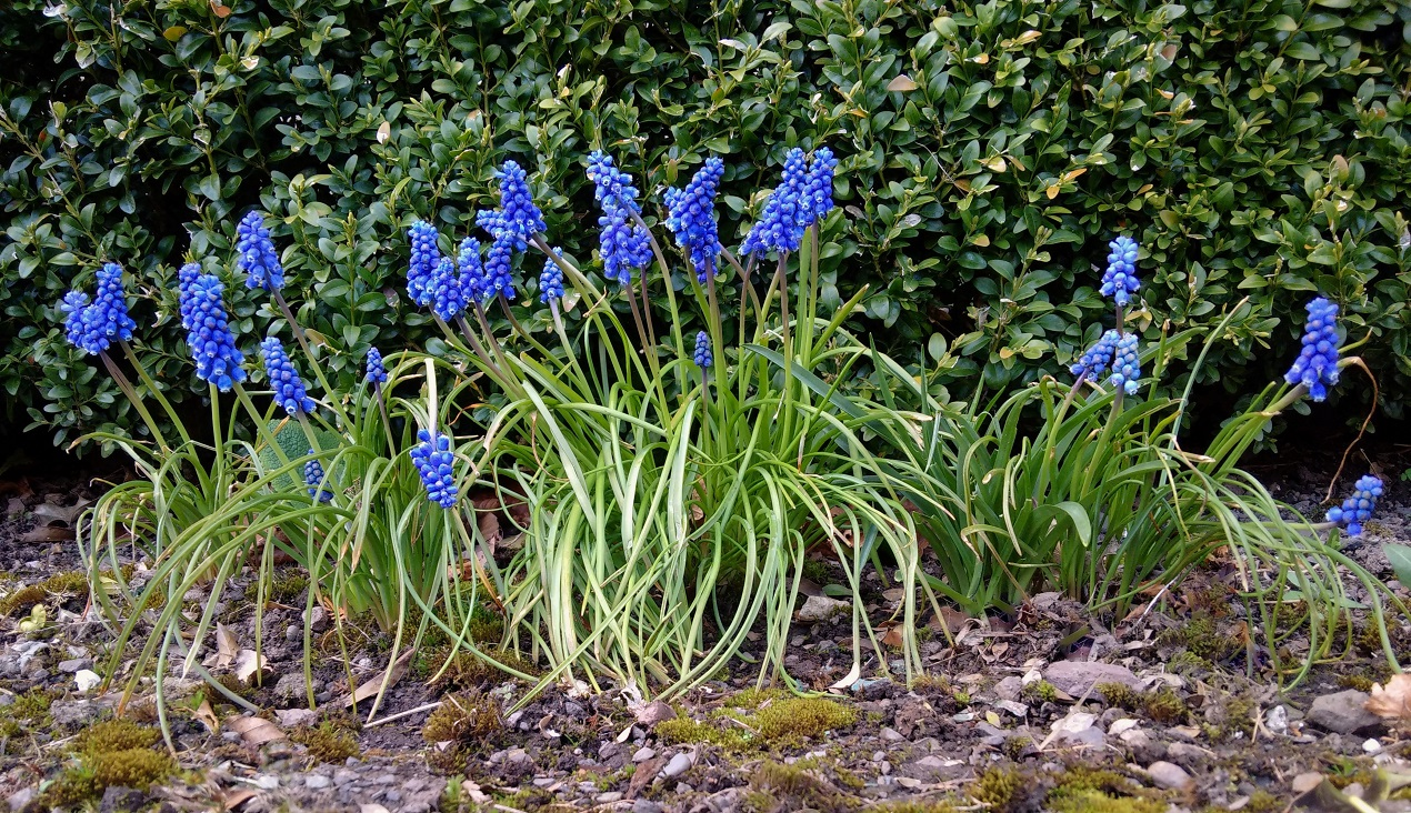 Group_of_grape_hyacinths_growing_at_the_foot_of_a_privet_hedge