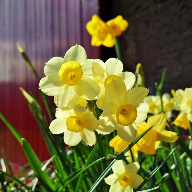 Pale_lemon_multi-headed_Narcissus
