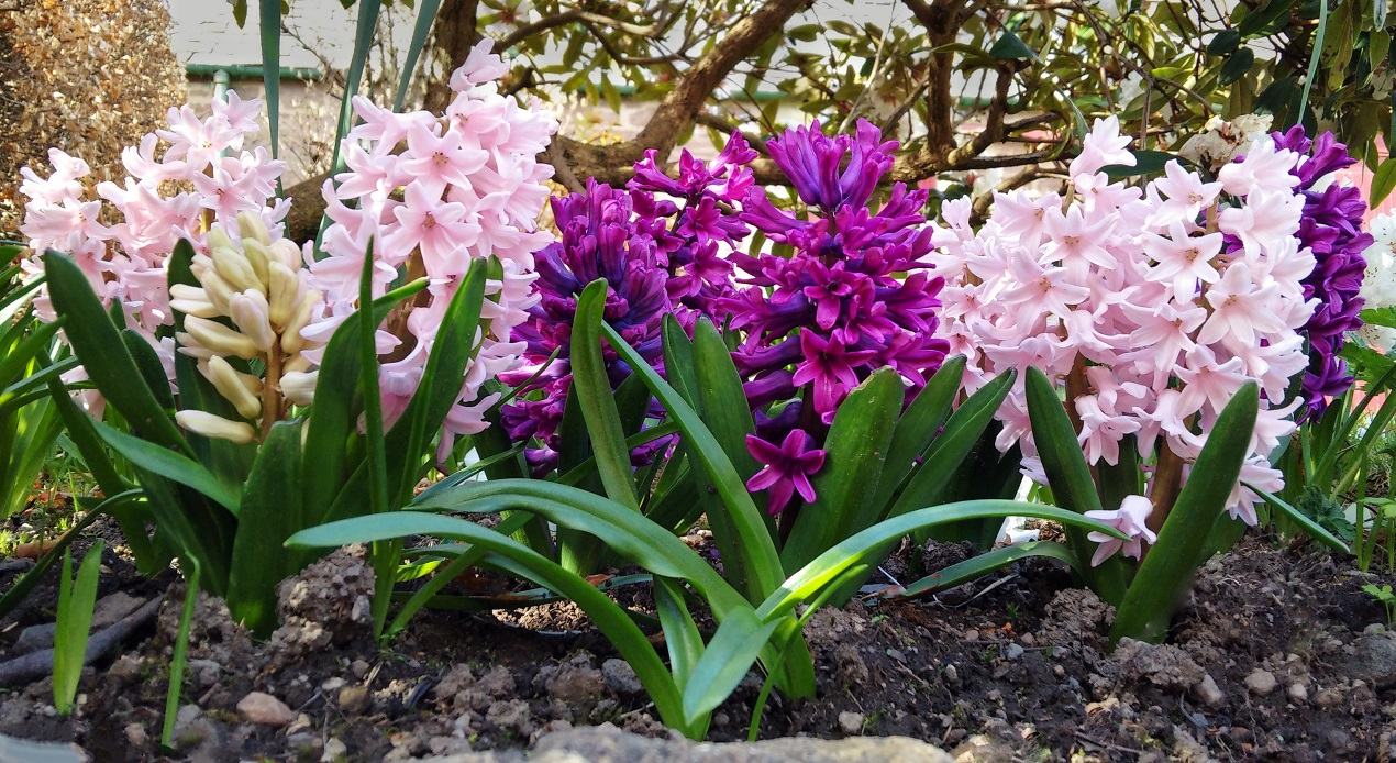 Pink_and_magenta_hyacinths_growing_in_a_shady_border
