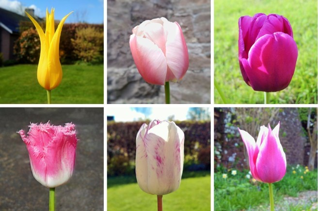Six_different_tulip_blooms