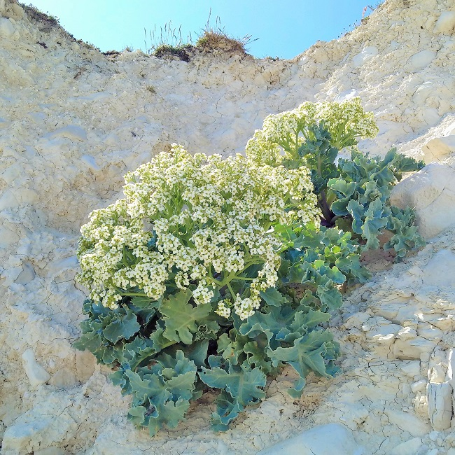 Wild_sea_kale_in_full_bloom_growing_on_chalk_cliff_face