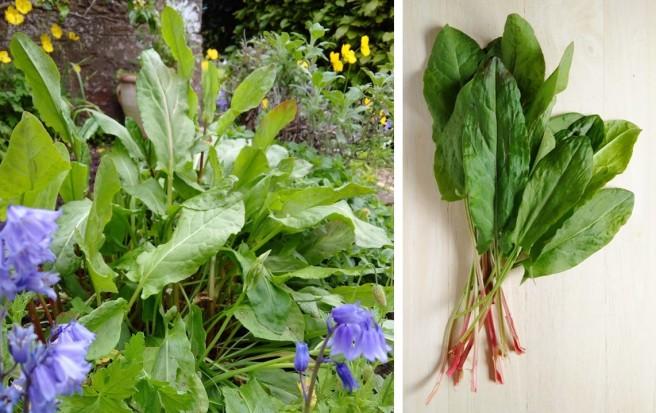 Fresh_sorrel_growing_and freshly_picked_leaves