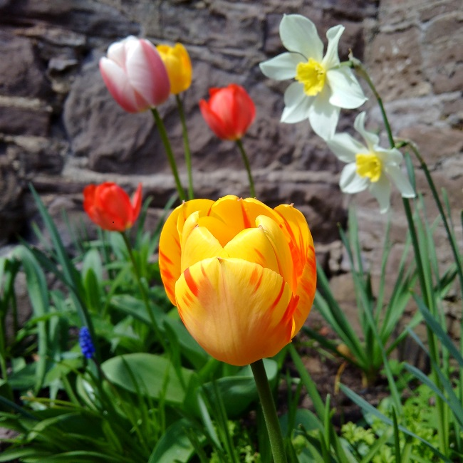 Collection_of_spring_flowers_growing_by_a_wall