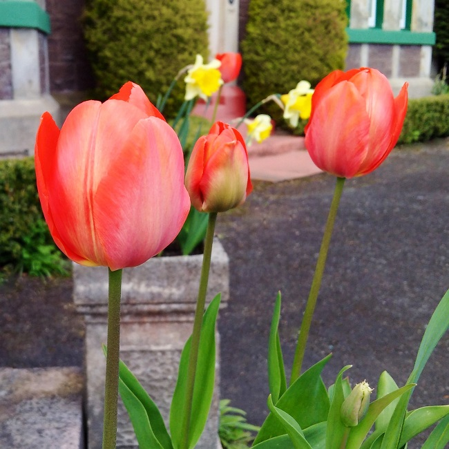 Tulips_and_daffodils_in_tall_stone_planters