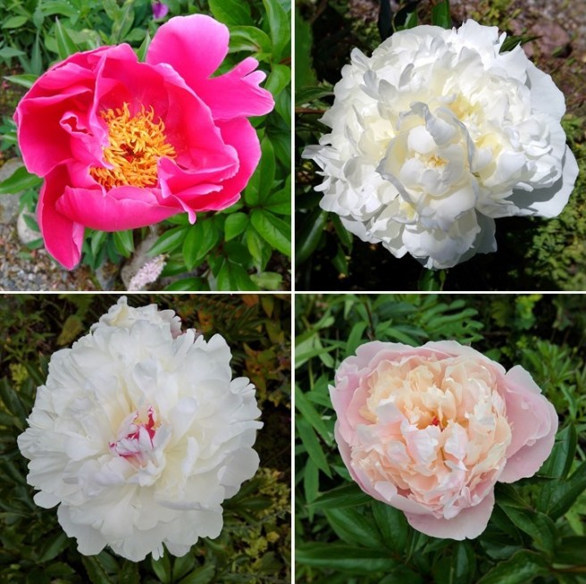 4_varieties_of_peony_in_bloom