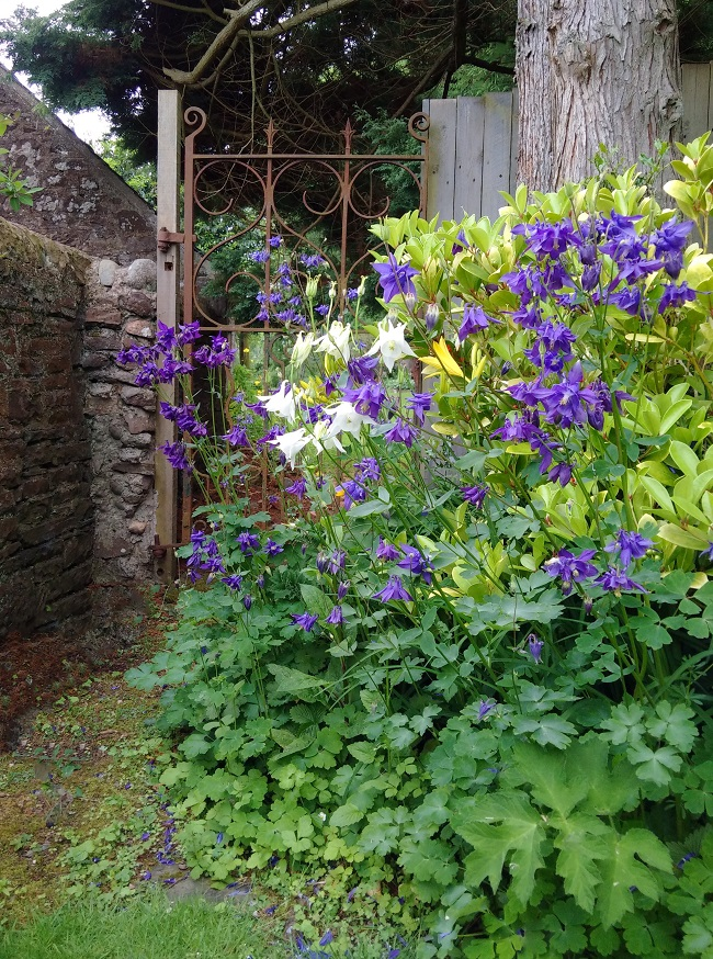 Back_garden_gate_with_blue_and_white_Aquilegia