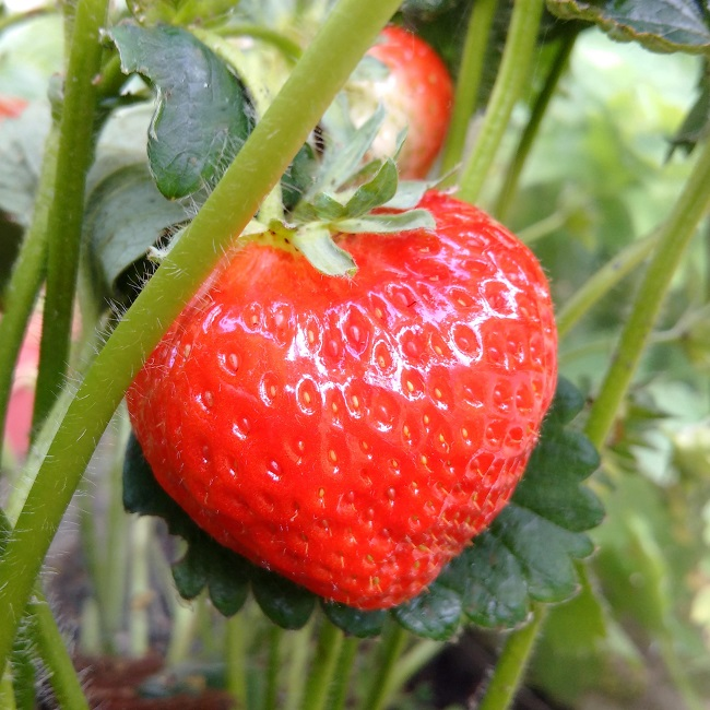Fully_ripe_home-grown_strawberry