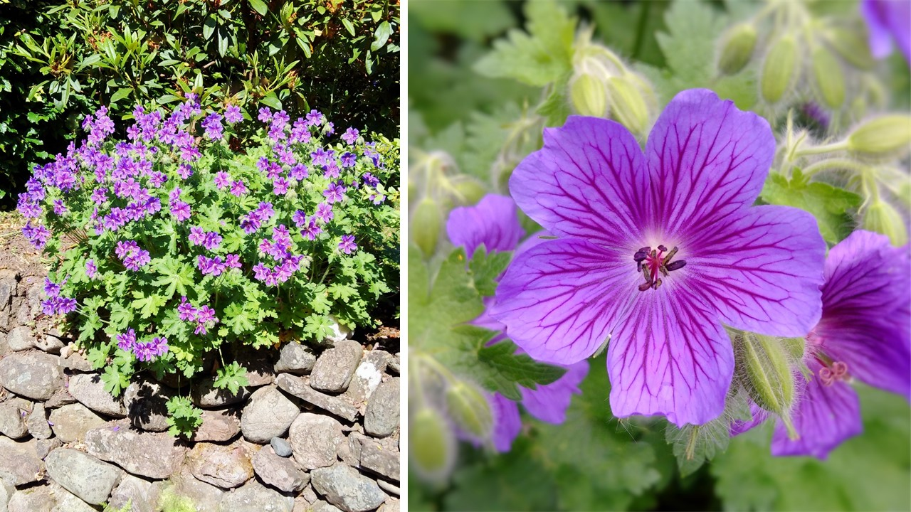 Purple_Cranesbill