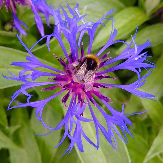 Honey_bee_on_a_Meadow_Cornflower