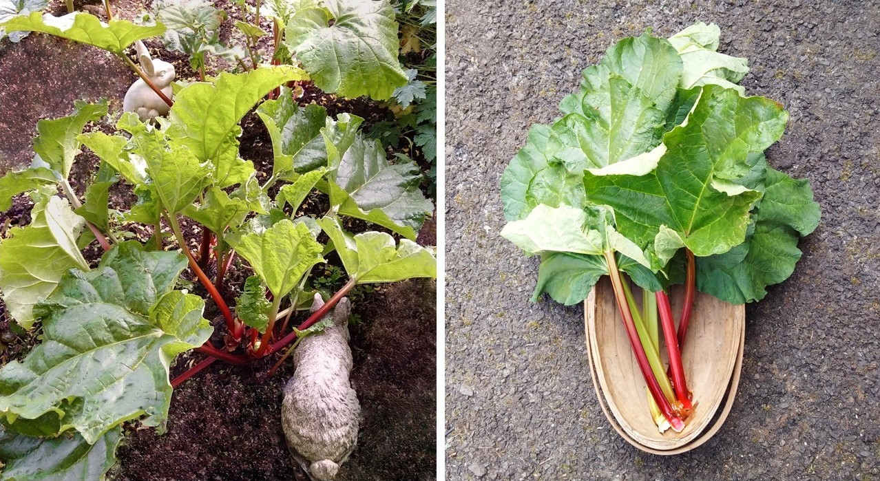 Rhubarb+patch_and_trug_of_freshly_picked_stems
