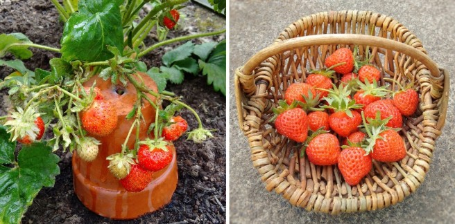Fresh_strawberries_growing_alongside_an_image_of_a_small_basket_of_picked_berries