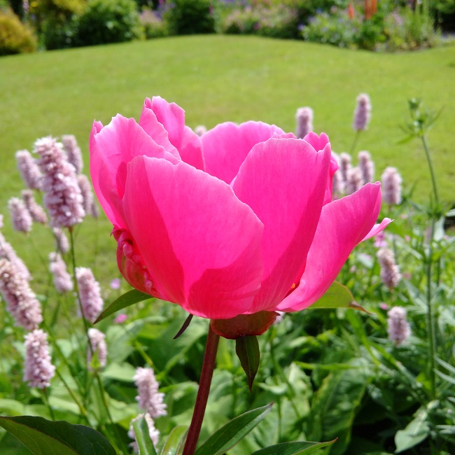 Fuschia-pink_peony_in_the_sunshine