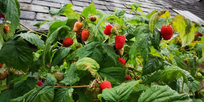 Fresh_Scottish_raspberries_growing_on_bushes