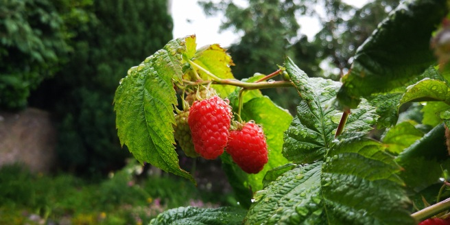 Two_ripe_raspberries_ready_for_picking