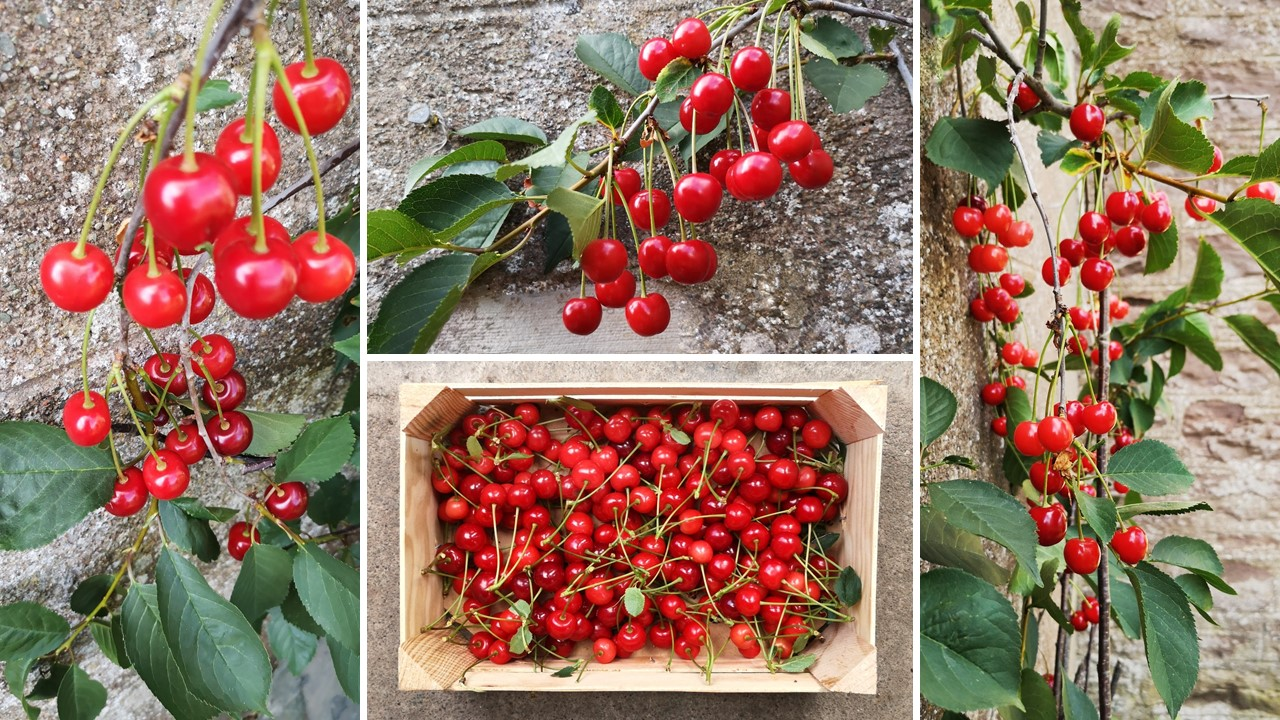 Images_of_Morello_cherries_growing_on_an_espalier_tree