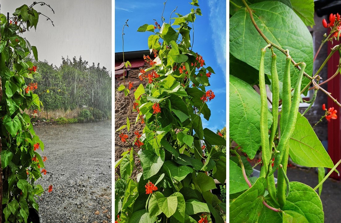 Runner_bean_vines_in_pouring_rain_and_in_sunshine