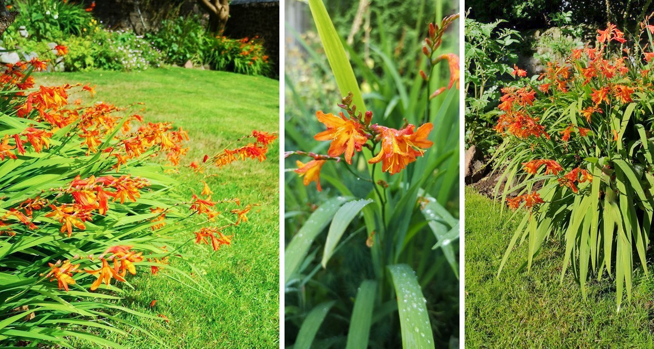 Orange_Crocosmia_(Montbretia)