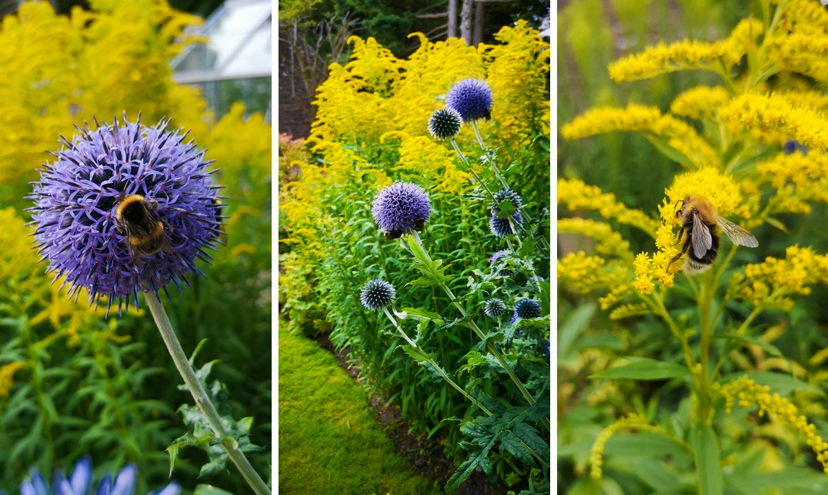 Goldenrod_and_globe_thistle_in_Scottish_flower_border