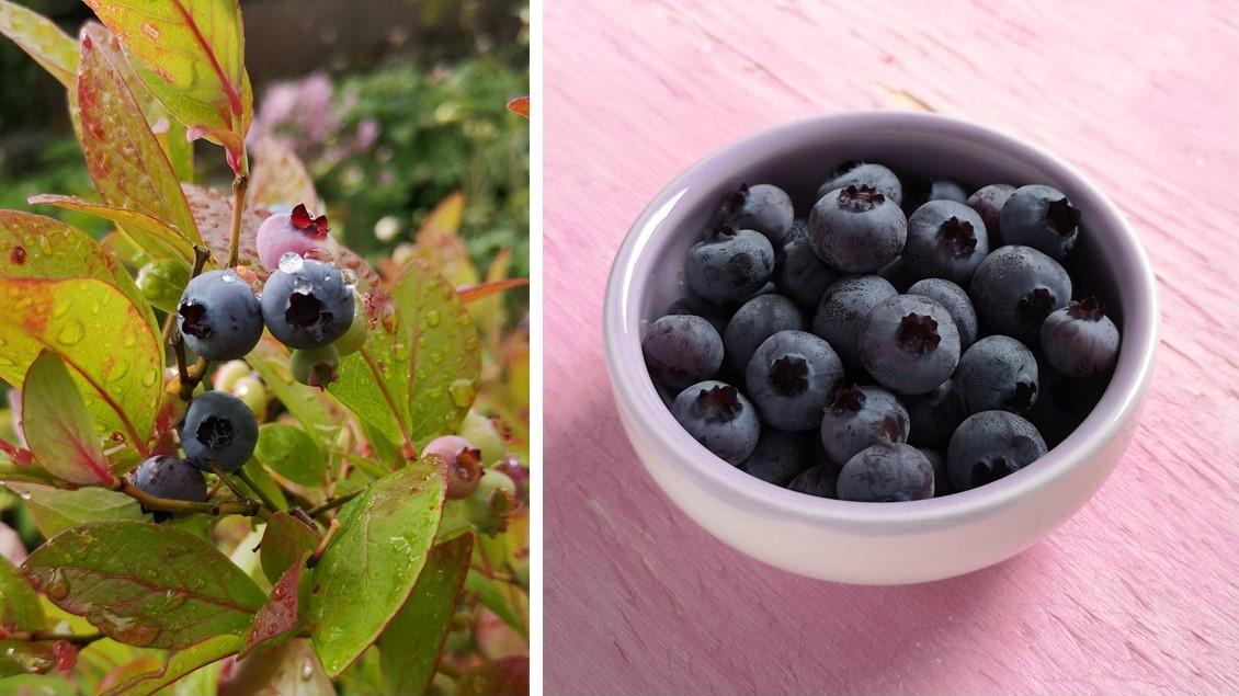 On_the_bush_and_harvested_late_August_Scottish_blueberries